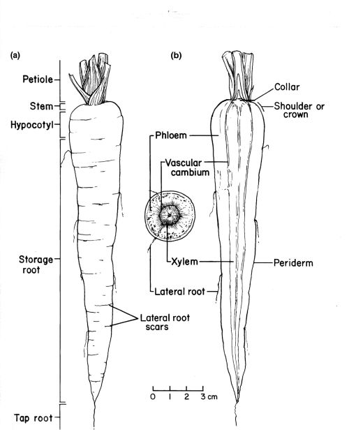 gallery xylem labelled diagram