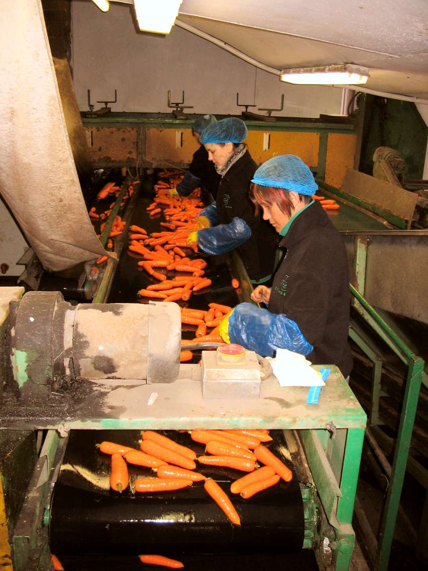Hand sorting of carrots