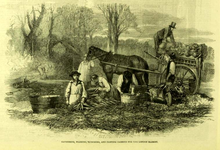 Illustrad London News 1861 gathering carrots for market