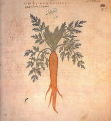 orange carrot image from 500 ad