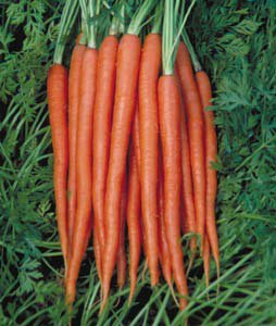 Top cut carrot Nunhems
