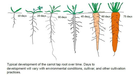 Factors affecting root shape and size
