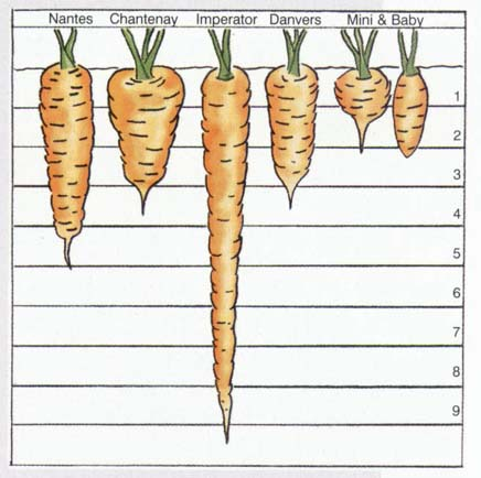 Mian shapes of carrots