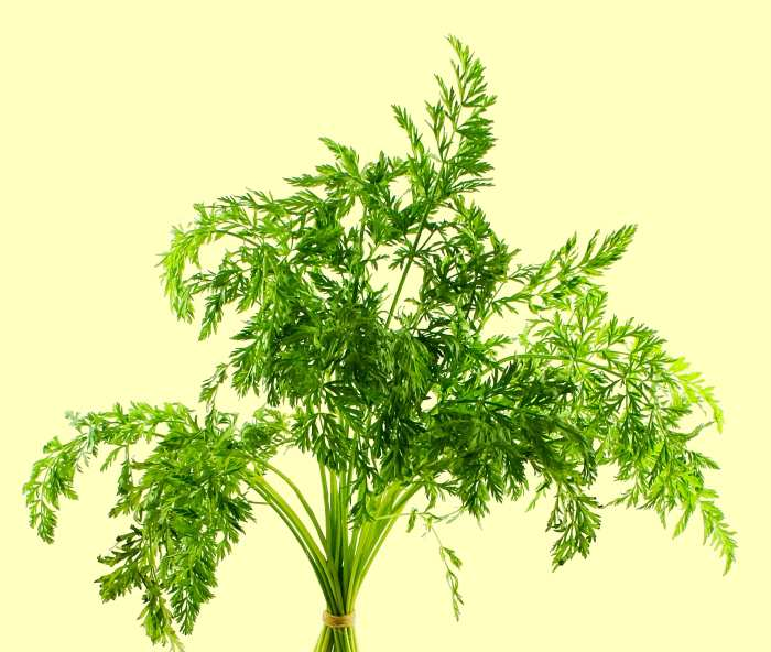 carrot leaves - used medicinally in ancient times