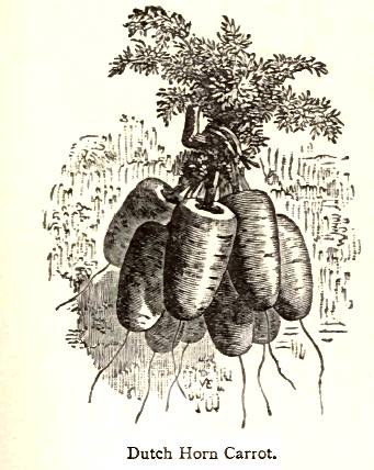 Vilmorin 1856 Dutch Horn carrot