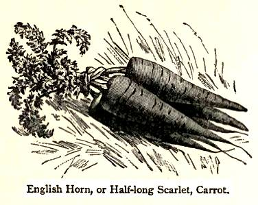 Vilmorin 1856 English Horn carrot