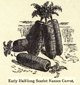 Vilmorin 1856 early half long nantes carrot