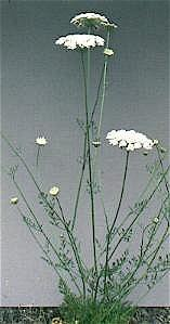 Queen Anne's Lace - The Wild Carrot
